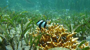 Un poisson dans les récifs coralliens au large de la Papouasie-Nouvelle-Guinée. (ALASTAIR CHEAL / AFP)