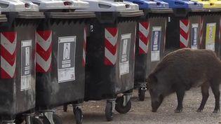 Les habitants de Rome, en Italie, ont encore été surpris de voir des sangliers se balader dans les rues de la ville, au milieu de la circulation. Pour la population, cette situation est de plus en plus problématique et représente un enjeu politique à une semaine des élections municipales. (CAPTURE ECRAN FRANCE 3)