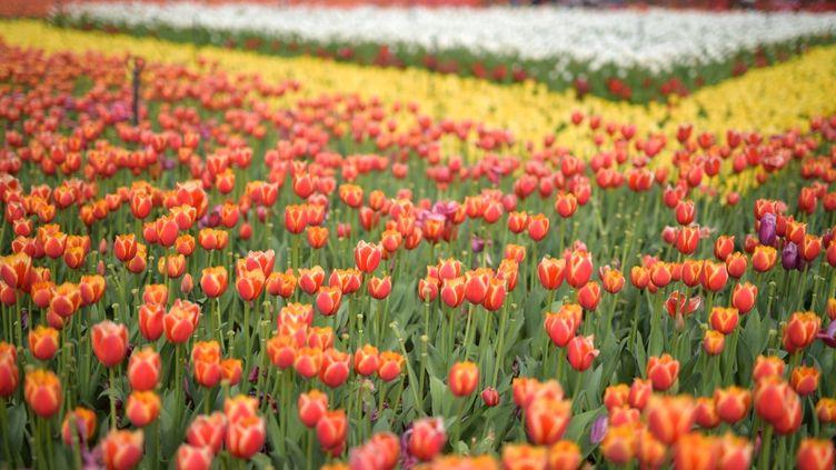 Un champ de tulipes dans un parc deKunming, en Chine, le 3 mars 2021, où doit avoir lieu la COP15 sur la biodiversité. (AFP)