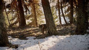 """Le documentaire de Jean-Michel Bertrand """"Marche avec les loups"""", sortira mercredi 15 janvier en salles. Avant même sa sortie, le film déclenche des polémiques, le cinéaste a même reçu des menaces de mort. (Gebeka Films)"""