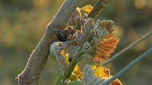 La chute des températures observée ces derniers jours n'épargne personne. L'hiver joue les prolongations au grand dam des producteurs de fruits et des viticulteurs. Certains ont mis en place des mesures spectaculaires pour lutter contre le gel. (FRANCE 3)