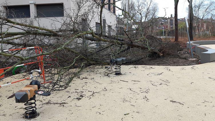 Un arbre déraciné par la tempête Ciara à Colmar (Haut-Rhin), le 10 février 2020. (MAXPPP)