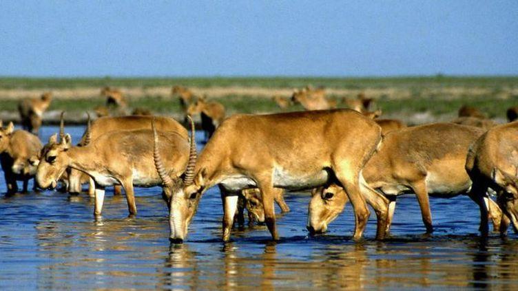 Près de 120.000 antilopes saïgas sont mortes en moins d'un mois au Kazakhstan (ANATOLY USTINENKO / AFP)
