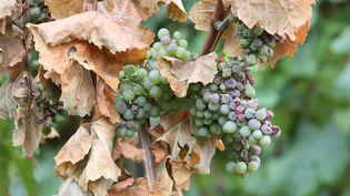 La sécheresse touche la vigne française, impactée précédemment par la grêle et le gel (THIERRY GACHON / MAXPPP)