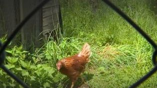 Dans le Cantal, une initiative insolite a été mise en place pour lutter contre les ordures ménagères. Les habitant ont commencé à adopter des poules.  (FRANCE 3)