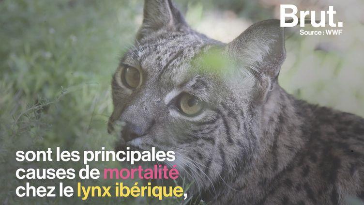 VIDEO. En Espagne, une lynx ibérique tuée par un braconnier (BRUT)
