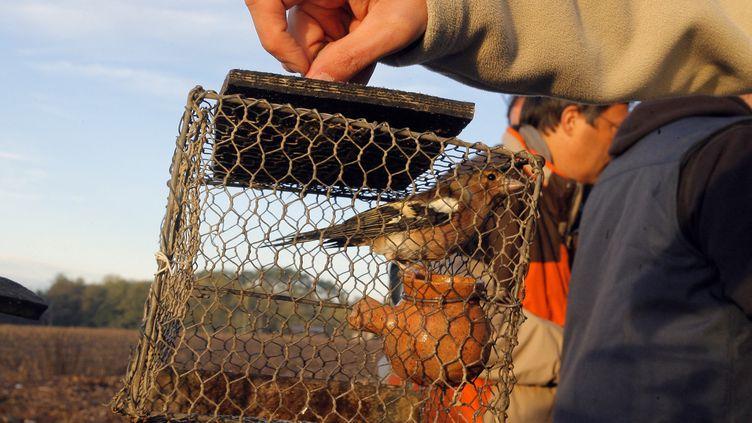 """Un pinson pris dans une """"matole"""",technique qui est à nouveau autorisée dans les Landes et le Lot-et-Garonne. (NICOLAS TUCAT / AFP)"""
