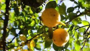 Si, physiquement, le Yuzu est à mi-chemin entre le citron et le pamplemousse, cet agrume mérite bien mieux que cette comparaison. Au Japon, on lui prête toutes les vertus, que ce soit à table ou en ablution. (France 2)