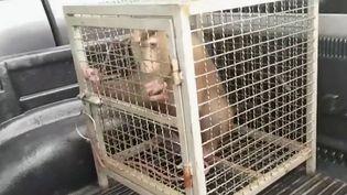 Faut-il boycotter l'eau de la coco et son huile ? De nombreux supermarchés britanniques ont déjà pris cette décision, suite à une enquête de l'association de défense des animaux PETA. Elle a découvert qu'en Thaïlande, des singes étaient exploités pour ramasser les noix de coco. (France 3)