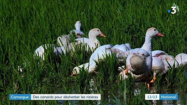 Camargue : des canards pour désherber les rizières