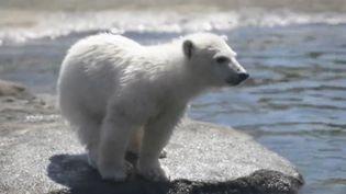 Capture écran d'une vidéo AP sur un ourson polaire du parc de Columbus (Ohio, Etats-Unis), le 20 avril 2017. (AP)