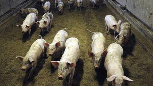 Des cochons avancent dans leur enclos au sein d'une ferme Label rouge, à Brûlon, le 7 septembre 2014. (JEAN-FRANCOIS MONIER / AFP)