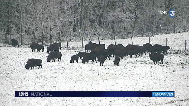 Le bison, nouvelle viande star des fêtes de fin d'années