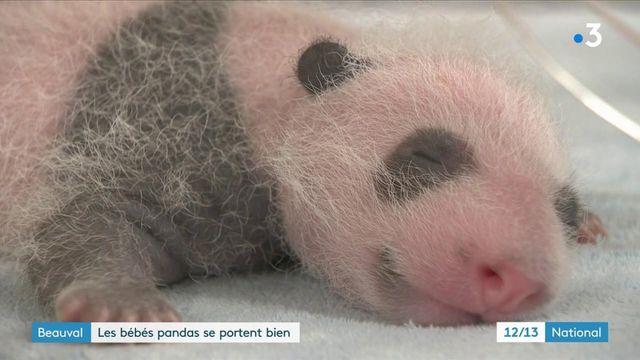 Zoo de Beauval : les jumelles pandas se portent bien