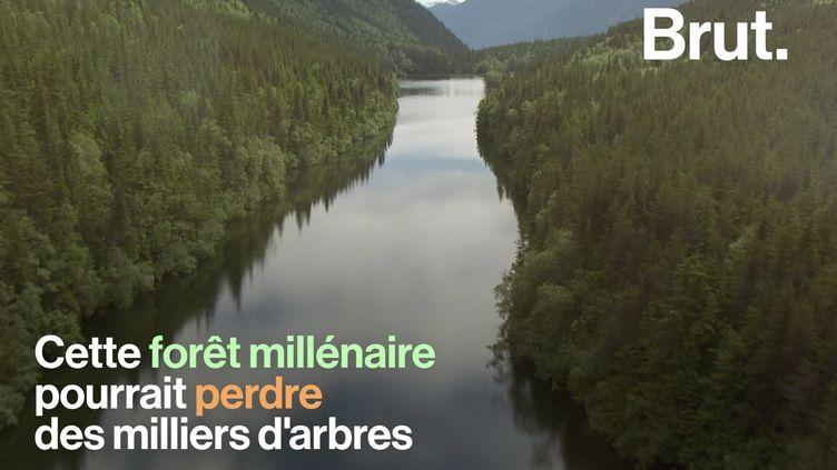 VIDEO. Aux États-Unis, une forêt millénaire pourrait bientôt perdre des centaines d'arbres (BRUT)