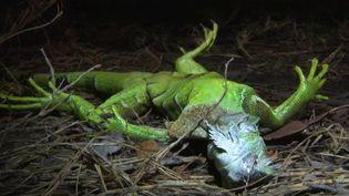 En Floride, aux États-Unis, les basses températures chamboulent l'écosystème. Il fait entre 0 et 4°C et, surpris par le froid, les iguanes tombent des arbres. (FRANCE 3)