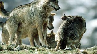 Des loups dans la région des Abruzzes en Italie en 2016 (Farabola/Leemage)