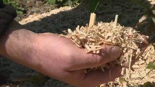 Le Miscanthus, plante plus connue sous le nom d'herbe à éléphant, se cultive sans engrais ni pesticides. Ce végétal vertueux intéresse au plus haut point certains agriculteurs. Reportage dans la Somme. (FRANCE 2)