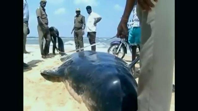 VIDEO. Des dizaines de baleines échouées sur une plage dans le sud de l'Inde