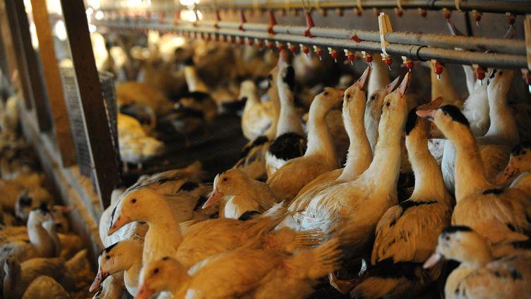 """(Le producteur de foie gras s'est défendu jeudi de tout """"acte de cruauté"""" © Maxppp)"""