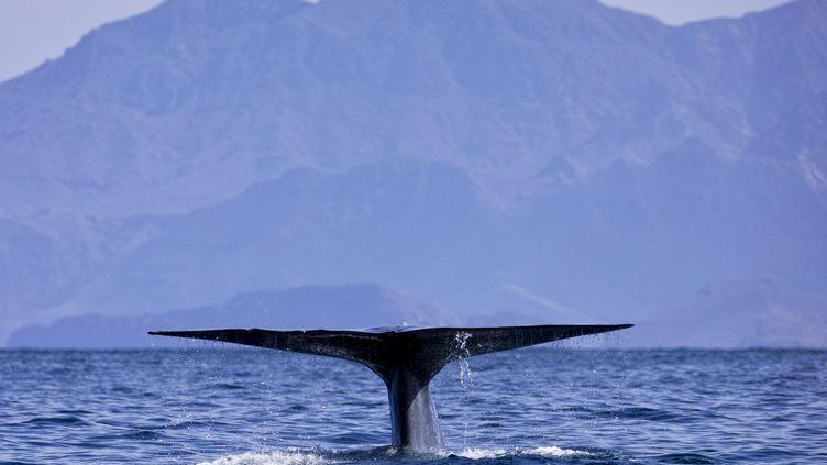 La queue d'une baleine observée au large de la Californie (Etats-Unis), le 5 octobre 2018. (SYLVAIN CORDIER / BIOSPHOTO / AFP)
