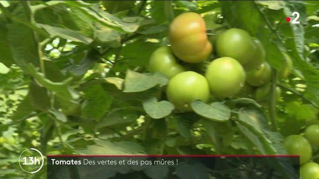 Agriculture : maigre récolte pour les tomates et de courgettes