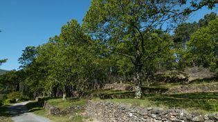 Forêt de châtaigniers en Ardèche (Yann Guichaoua-Photos / GETTY IMAGES)