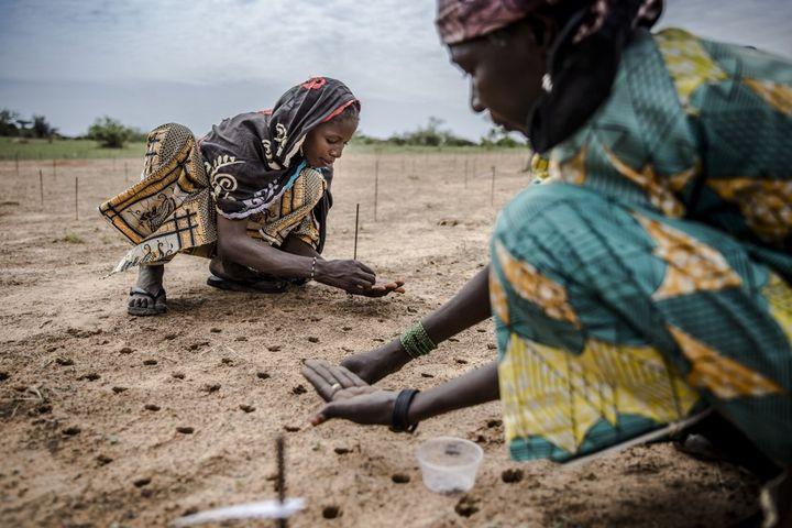 Plantations de graines d'arbres lors d'un projet de reboisement dans la région de Zinder au Niger, en juillet 2019. (LUIS TATO / FAO)