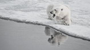 Un ours polaire au Canada, le 6 février 2018. (VINCENT TRUCHET / BIOSPHOTO / AFP)