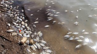 D'innombrables poissons morts flottent entre deux eaux ou s'échouent sur les rives du lac Wadi Kaam (nord-ouest de la Libye). Le 2 février 2019. (AYMAN AL-SAHILI / REUTERS)