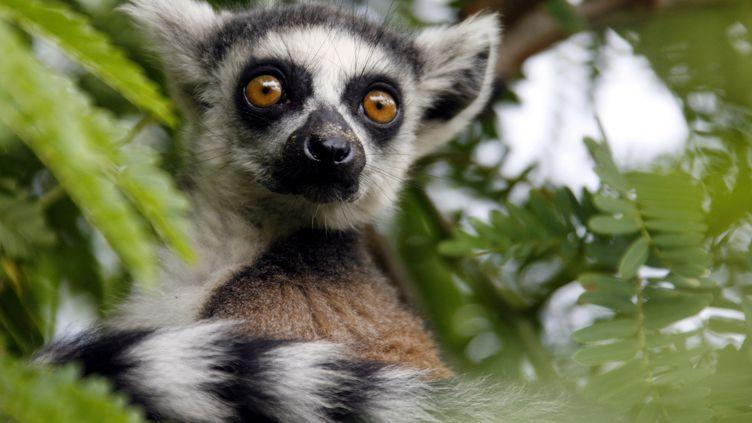 Lémurien dans un parc naturel près d'Antananarivo à Madagascar (REUTERS - RADU SIGHETI / X00255)