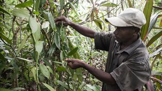 Une ferme de vanille à Madagascar. (RIJASOLO / AFP)