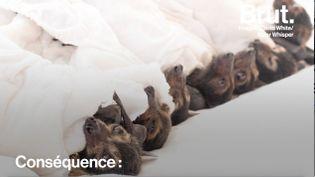 Des dizaines de milliers de chauves-souris ont cédé aux fortes températures relevées dans le région du Queensland. (BRUT)