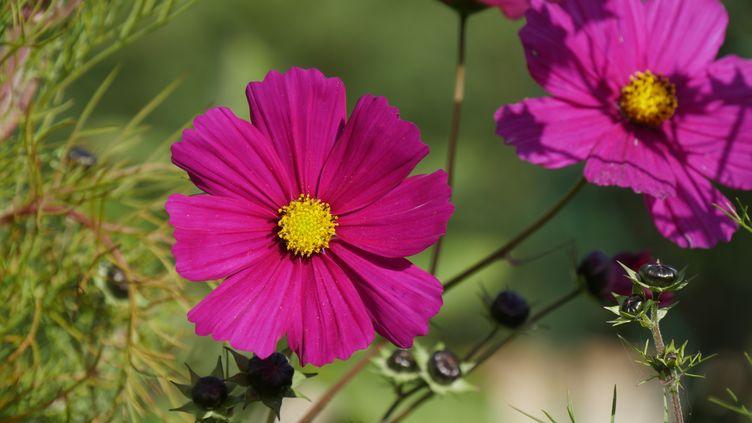 Les cosmos entrent souvent dans la composition des prairies fleuries, mini ou très grandes. (ISABELLE MORAND / RADIO FRANCE / FRANCE INFO)