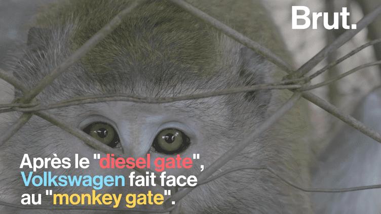 """Des singes forcés à inhaler des gaz d'échappement, c'est le """"monkey gate"""" de Volkswagen (BRUT)"""