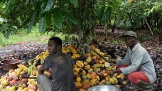 Récolte des fèves de cacao dans une plantation près de Sinfra dans le centre de la Côte d'Ivoire, le 12 octobre 2019. (ISSOUF SANOGO / AFP)