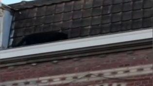 L'animal s'est baladé tel un chat de gouttière sur les toits d'unimmeuble de cette commune de 25 000 habitants. C'est la dernière illustration d'un trafic d'animaux sauvages achetés par des propriétaires peu scrupuleux. (CAPTURE D'ÉCRAN FRANCE 3)