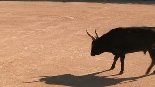 Le taureau est, au même titre que le cheval, l'icône de la Camargue (FRANCE 3)