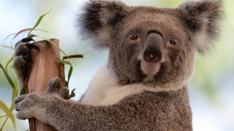 Le koala se réfugie dans les arbres, seule façon de faire face à un réchauffement climatique selon une étude australienne. (GREG WOOD / AFP)