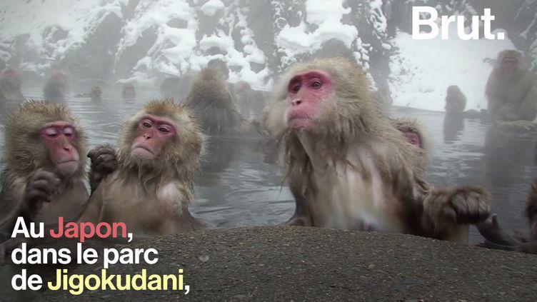 VIDEO. Pourquoi certains macaques aiment les sources d'eau chaude ? (BRUT)