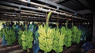 Régimes de bananes prêt à l'embarquement pour les marchés étrangers, à Basse-Terre en Guadeloupe, en avril 2017. (GETTY IMAGES)