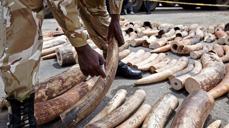 Aux portes de Mombasa, au Kenya, un ranger montre de l'ivoire saisi, le 8 octobre 2013. (IVAN LIEMAN / AFP)