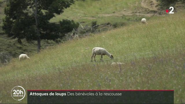 Agriculture : des bénévoles contre les attaques de loups