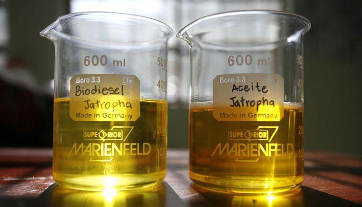 Biodiesel tiré de graines de jatropha. un arbre adapté aux sols des pays du Sahel (REUTERS/Daniel LeClair )