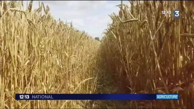 Agriculture : les récoltes de blés sont en chute libre