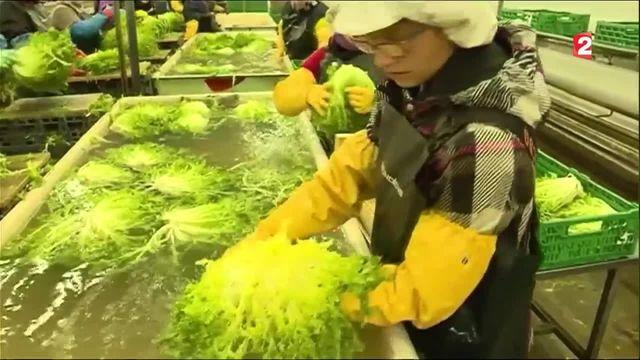 Pyrénées-Orientales : les producteurs de salades en péril