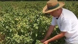 Canicule : les producteurs de cassis accusent le coup (FRANCE 3)