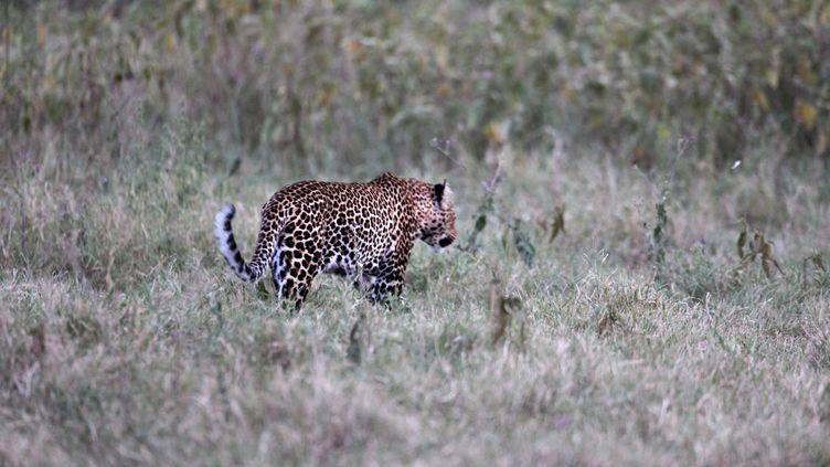 Léopard dans leLake Nakuru National Park au Kenya, le 18 août 2015. (JOE PENNEY / X02952)