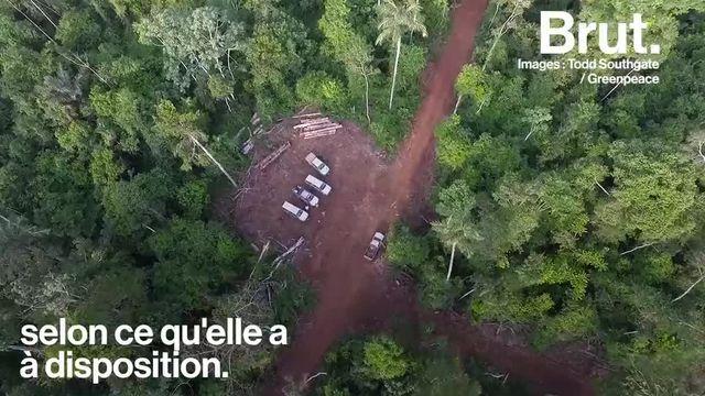 Dans la forêt amazonienne, Greenpeace Brésil s'inquiéte de l'exploitation illégale d'ipé, un bois précieux, par des entreprises peu scrupuleuses.