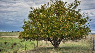 Les bons conseils de notre maitre jardinier pour planter des pommiers (IXEFRA / MOMENT RF / GETTY IMAGES)